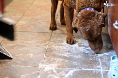 My dog helping to clean up spilled flour.