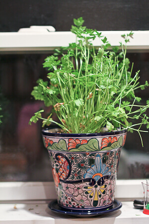 Indoor Flat Leafed Parsley Plant
